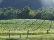 vineyardpic